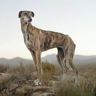 Africanis dog, Sneeuberg Pass, Murraysburg district, South Africa, 2/2/2009, by Daniel Naudé