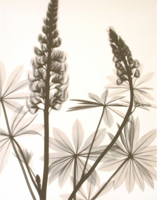 Optic Exploration: Lupinus (lupine), by Judith McMillan