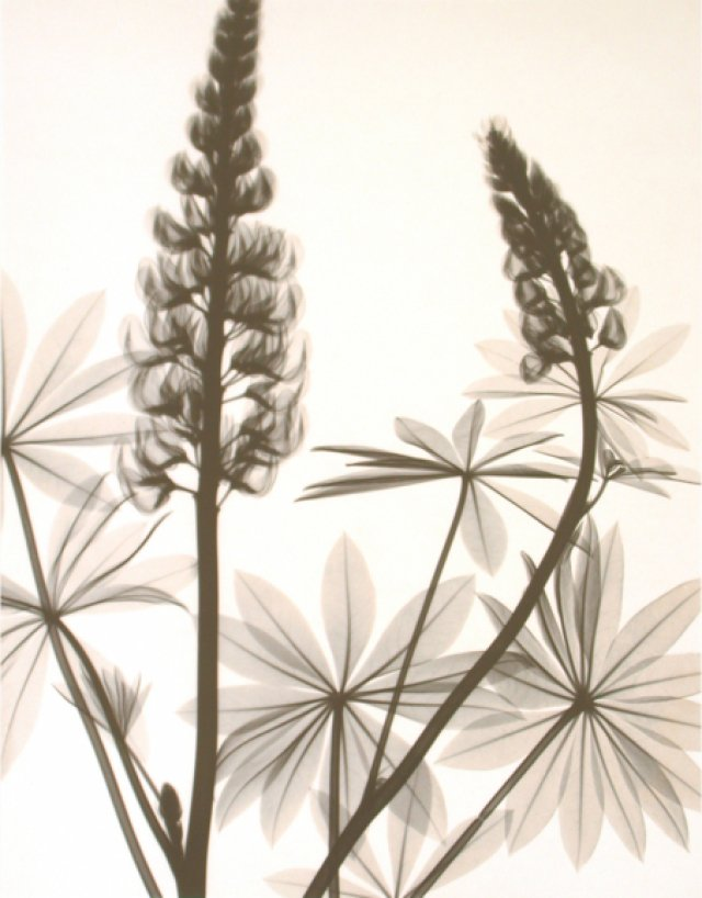 Judith McMillan, Optic Exploration: Lupinus (lupine)
