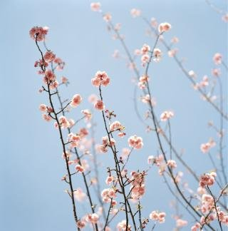Pink Blossoms, by Sally Gall