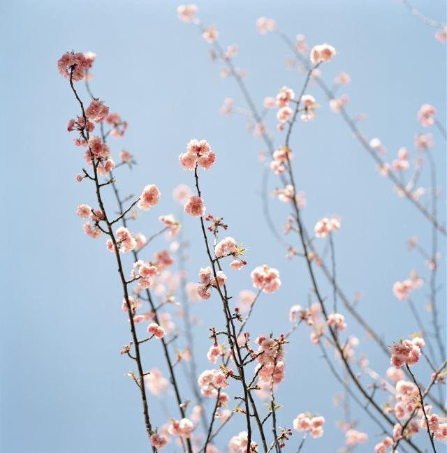 Sally Gall, Pink Blossoms