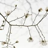 Sally Gall, White Blossoms