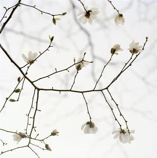 White Blossoms, by Sally Gall