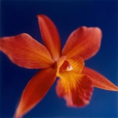 Tapp Francke Orange Orchid on Dark Blue art for sale